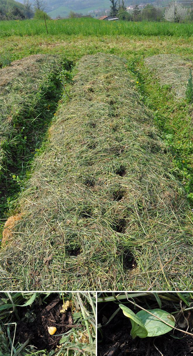 Primi lavori orto naturale blog for Piantare piselli