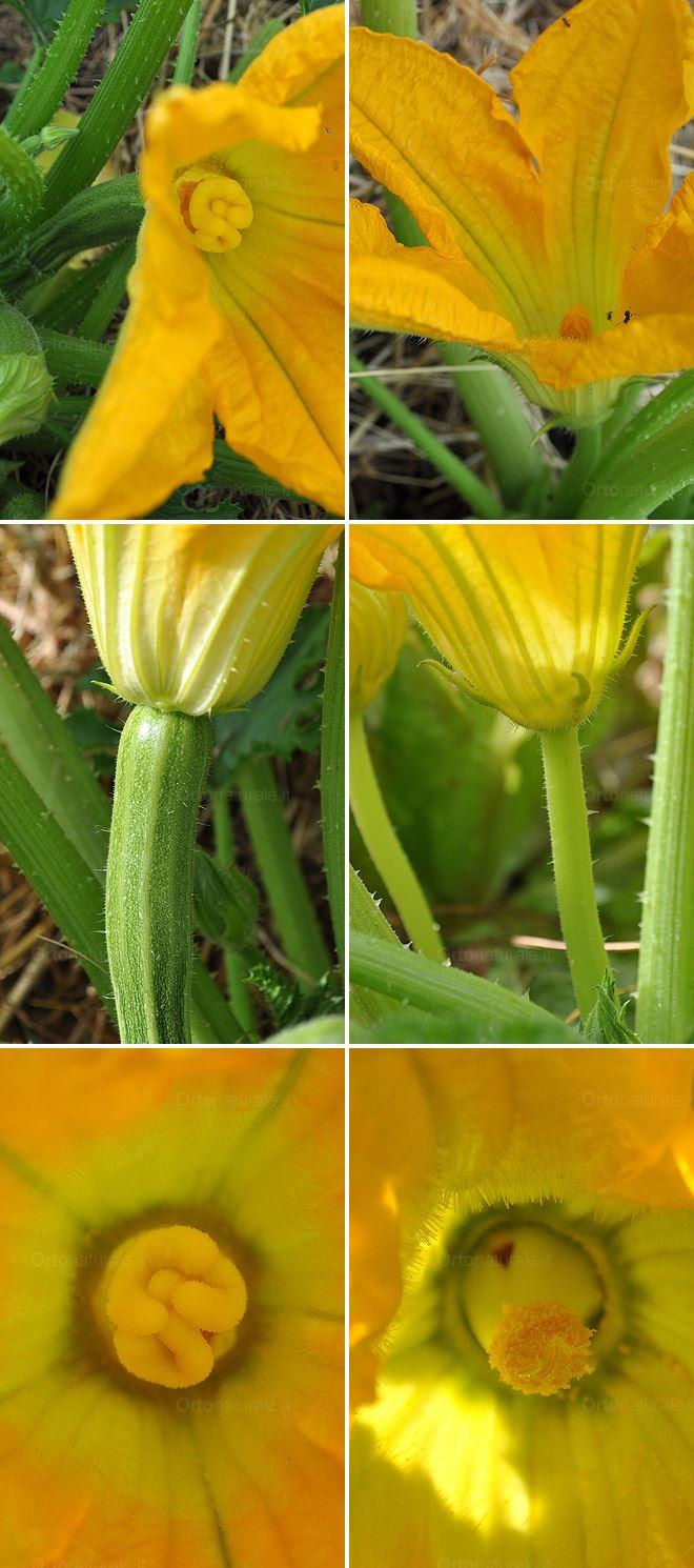 Fiori di zucca o di zucchini orto naturale blog for Piscina e maschile o femminile
