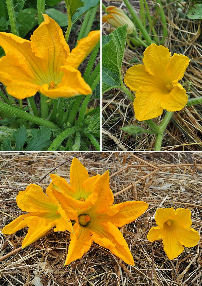 Piante Di Zucca : Fiori di zucca …o zucchini orto naturale