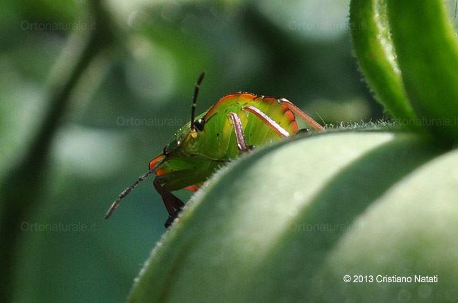 Allontanare le cimici dai pomodori orto naturale blog for Cimice insetto