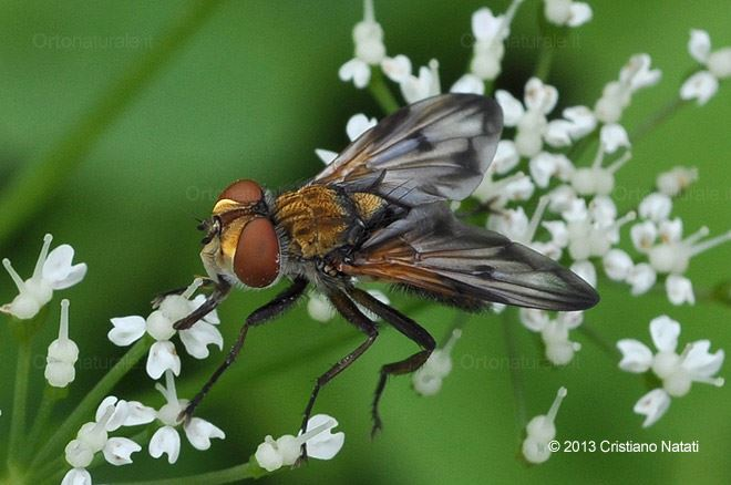 Tachinidae Ectophasia