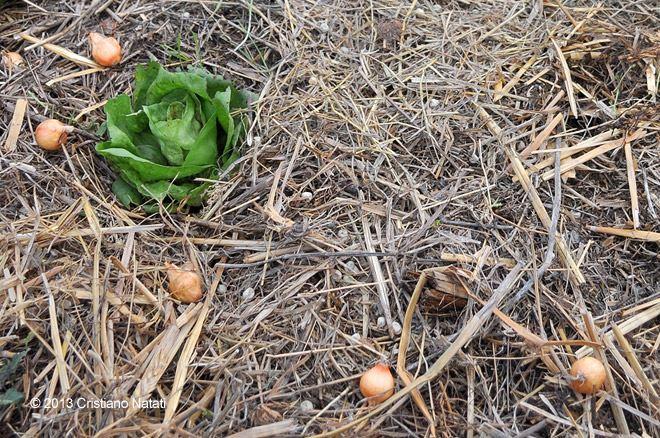 Ultimi lavori 2013 orto naturale blog for Semina cipolle